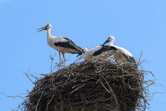 Bunch of white storks Stock Photo