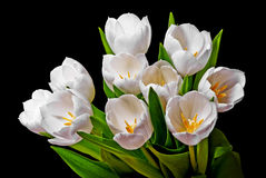 Bunch of white tulips Stock Photography