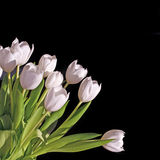 Bunch of white tulips on black background Royalty Free Stock Images