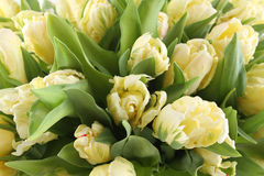 Bunch of white tulips Stock Image