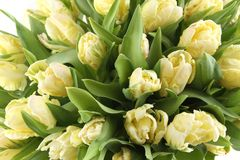 Bunch of white tulips Royalty Free Stock Image