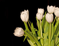 Bunch of white tulips isolated on black Royalty Free Stock Images