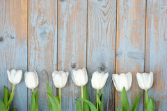 Bunch of white tulips in a row on a blue grey knotted old wooden background with empty space layout Stock Photo