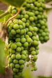 Bunch of white vine grapes Stock Photos