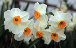 Yellow and white daffodil flowers bunch with soft focus in the back ones. Bunch of White and yellow daffodil flowers in the front in focus. Others in soft focus stock photography