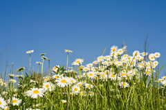 Bunch of wild daisies against blue sky Stock Image