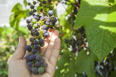 Bunch of wild dark grapes in the garden in summer in hand stock images