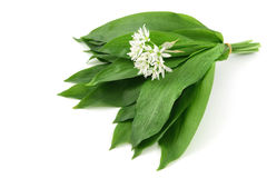 Bunch of wild garlic with leaves and flowers. Royalty Free Stock Photography