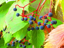 Bunch of wild grapes Royalty Free Stock Photos