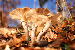 A bunch of wild mushrooms in autumn. Stock Image