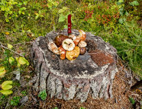 A bunch of wild mushrooms on a tree stump in a forest Stock Images