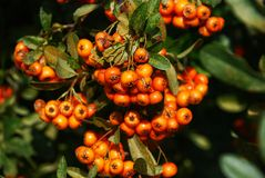 Bunch of wild rowanberry close-up. Colorful autumn background with rowanberry Stock Photo