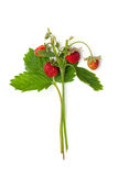 Bunch of wild strawberries Royalty Free Stock Photography