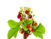 Bunch of wild strawberry Royalty Free Stock Photos