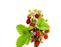 Bunch of wild strawberry Royalty Free Stock Images