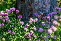 Bunch of wild Thistles flowers. In the forest, Banff National Park, Alberta, Canada Royalty Free Stock Photography