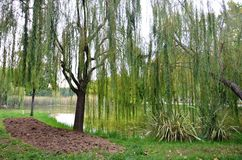 Bunch of willow. Weeping willows, trees, natural lakes in the states green clad in green color Royalty Free Stock Photos