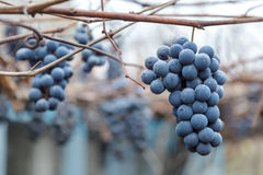Bunch of wine grapes Royalty Free Stock Images