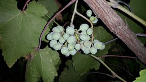A bunch of wine grapes hang from a branch. Stock Photo