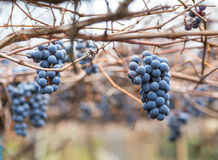 Bunch of wine grapes Royalty Free Stock Image