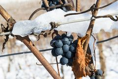 Bunch of winter grapes with snow Stock Images