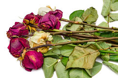 Bunch of withered roses. Five red, two white,  on white background Royalty Free Stock Image