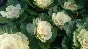 Bunch of yellow Brassica oleracea L cabbage flower
