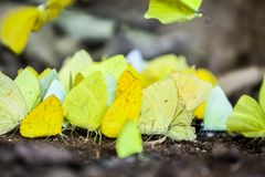 Yellow butterflies in Iguazu NP, Argentina. A bunch of yellow butterflies in Iguazu National Park, Argentina stock image