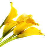 Bunch of yellow cala lilies Stock Photo