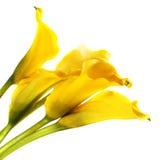 Bunch of yellow cala lilies Stock Photo