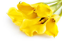 Bunch of yellow cala lilies Royalty Free Stock Images