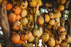 A bunch of yellow coconuts is on sale. Photo of a bunch of yellow saling coconuts Royalty Free Stock Photo