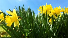 Bunch of yellow daffodil flowers or narcissus, in green grass during spring. Blowing in the wind. Video 4k. Close-up stock footage
