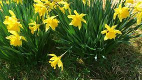Bunch of yellow daffodil flowers or narcissus, in green grass during spring. Blowing in the wind. Video 4k. Close-up stock video