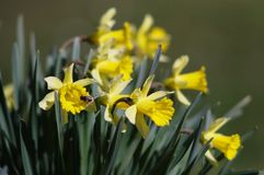 Bunch of yellow daffodils. Bunch ellow daffodils in spring garden with blurry background with a bee Stock Images