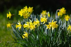 Bunch of yellow daffodils. Many yellow daffodils in spring garden with blurry background Royalty Free Stock Photo
