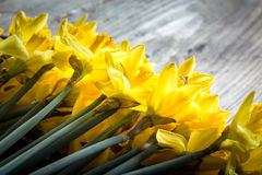 Bunch of yellow daffodils with blossom Royalty Free Stock Photos