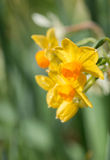 Bunch of yellow daffodils on blurry background Royalty Free Stock Photos