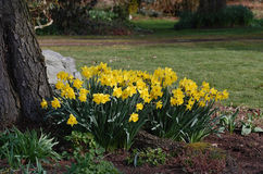 A bunch of yellow daffodils in a pleasant garden. Royalty Free Stock Photography