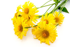 Bunch of yellow daisies Royalty Free Stock Photography