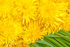 Bunch of yellow dandelion flowers. Closeup on green grass Royalty Free Stock Photo