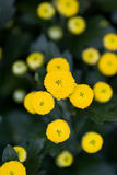 Bunch of yellow flowers Royalty Free Stock Photography