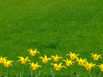 Bunch of yellow flowers. In a row with grass in a background stock photography
