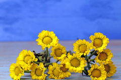 A bunch of yellow flowers. On blue background,selective focus Stock Photos