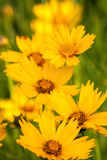 Bunch of yellow flowers Stock Photography