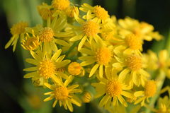 Bunch of yellow flowers. Bunch of yellow wildflowers with such beauty Royalty Free Stock Photos