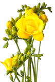 Bunch of yellow freesias Royalty Free Stock Photos