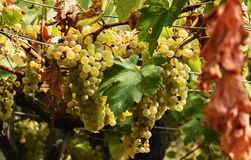 Bunch of yellow grapes royalty free stock images