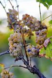 A bunch of yellow grapes on grapevine stock photography
