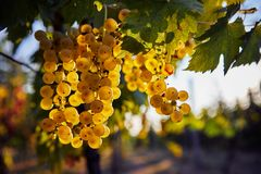 A bunch of yellow grapes hanging on a vineyard stock image